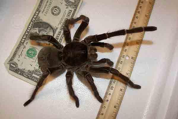 Grootste spin ter wereld, de Goliath vogelspin (met filmpjes)
