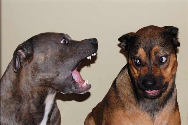 Top 10 gevaarlijke honden die bijten