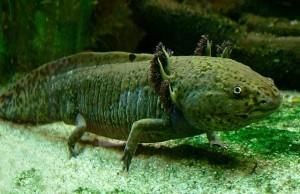 De axolotl