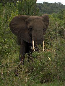 De Afrikaanse Olifant, De grootste dieren ter wereld