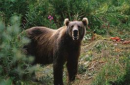 De kodiakbeer, grootste dieren ter wereld