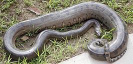De groene anaconda, grootste dieren ter wereld