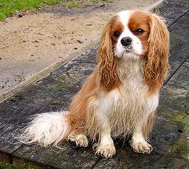 Cavalier, Wat zijn de populairste hondenrassen in Nederland?