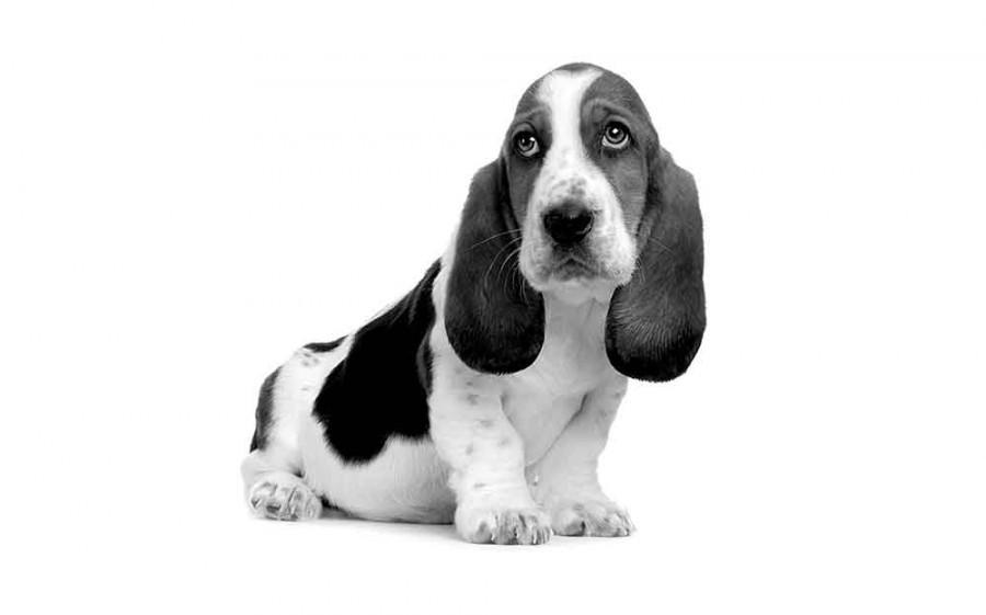 Alle erkende hondenrassen in Nederland