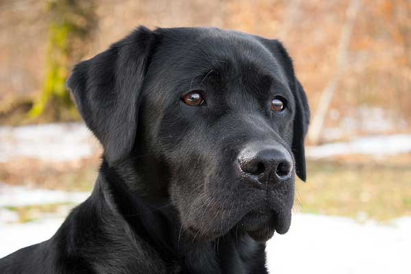 Wat is het beste Hondenras? De Labrador retriever (van deze 25)