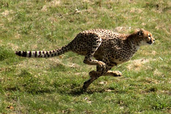 Wat zijn de snelste dieren in de wereld? (top 10)