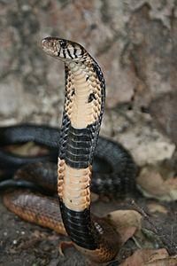 Zwart-witte Cobra