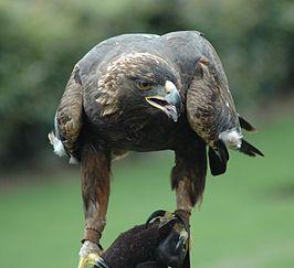 De steenarend, snelste vogel ter wereld
