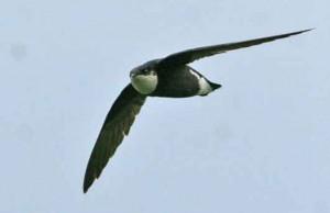 stekelgierzwaluw, snelste vogel ter wereld