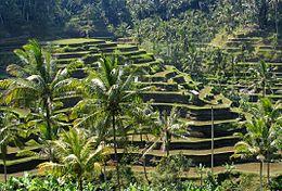Sawa op Bali