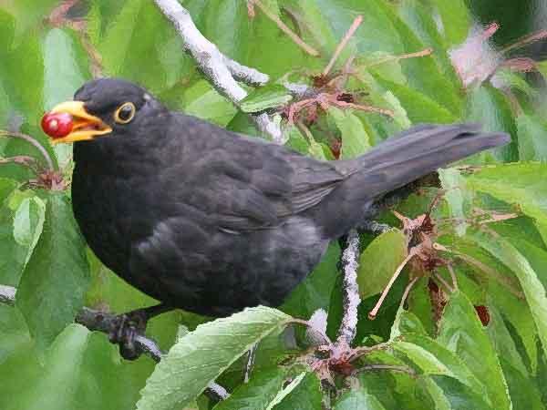 Meest voorkomende vogel in Nederland is de merel, de top 10