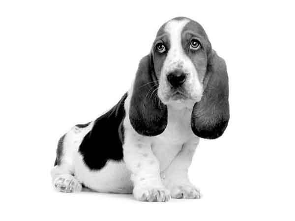 Alle erkende hondenrassen in Nederland, van Affenpinscher tot Zwitserse Witte Herdershond