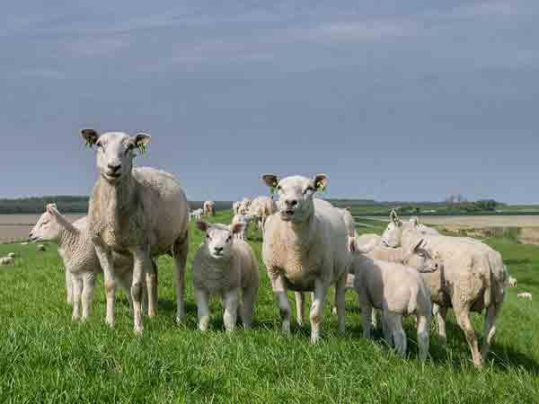 Alle spreekwoorden, gezegden en uitdrukkingen met het woord schaap