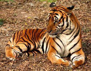 Noord-Indochinese tijger