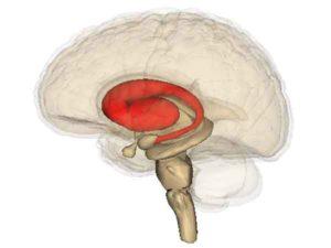 Corpus striatum - Controle over stress in jeugd voorkomt