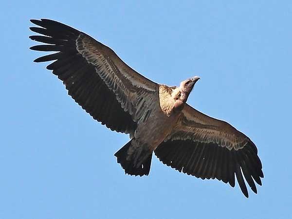Hoogst vliegende vogels ter wereld – Top 10
