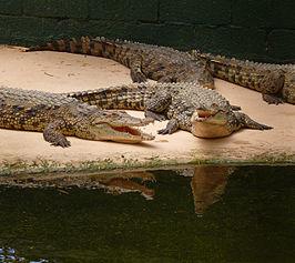 De nijlkrokodil is de grootste van de vier in Afrika voorkomende soorten krokodilachtigen en kan een lengte van 6,2 meter en een gewicht van meer dan 700 kilo bereiken.