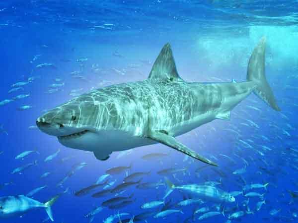 Grootste haaien ter wereld – De top 10