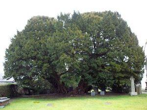 Venijnboom van Llangernyw