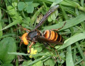 Japanse reuzenhoornaar