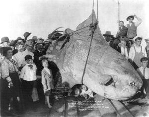 Een in 1910 gevangen maanvis met een geschatte massa van 1600 kilogram