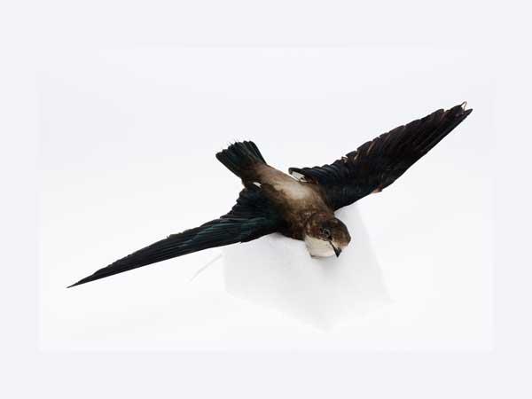 Snelste vogels ter wereld - De nr. 1: Stekelstaartgierzwaluw