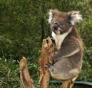 Koalabeer