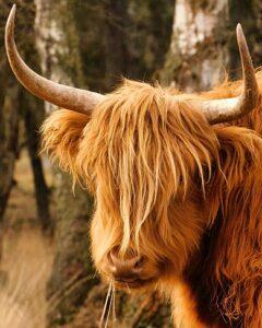 Schotse hooglander op de Veluwezoom