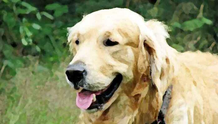 Top 10 meest kindvriendelijke hondenrassen