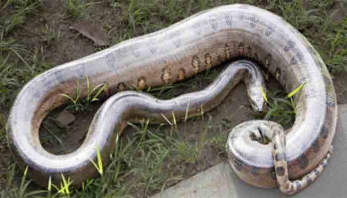 Groene anaconda: Top 10 grootste slangen ter wereld