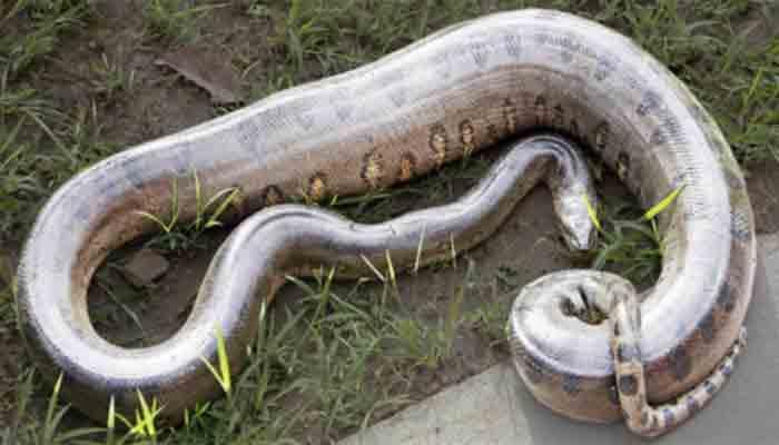 Top 10 grootste slangen ter wereld