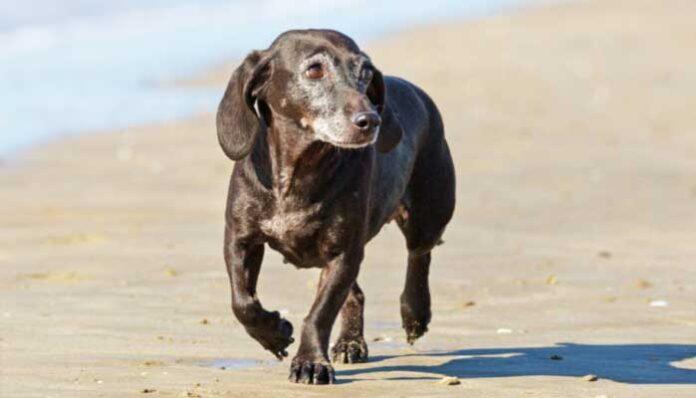 Hoe merk je dat de hond dement wordt?