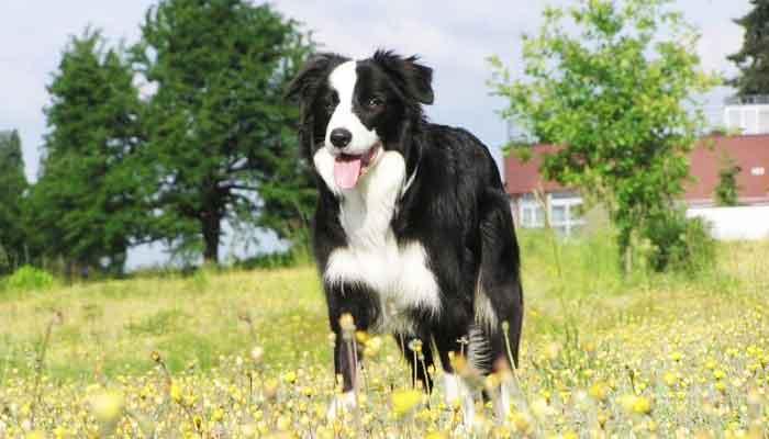 Top 10 meest gehoorzame hondenrassen